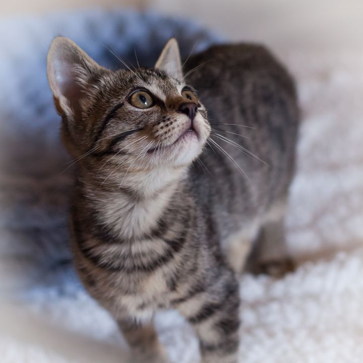 Fennel, an adopted Manx & Domestic Short Hair Mix in Ponte Vedra, FL
