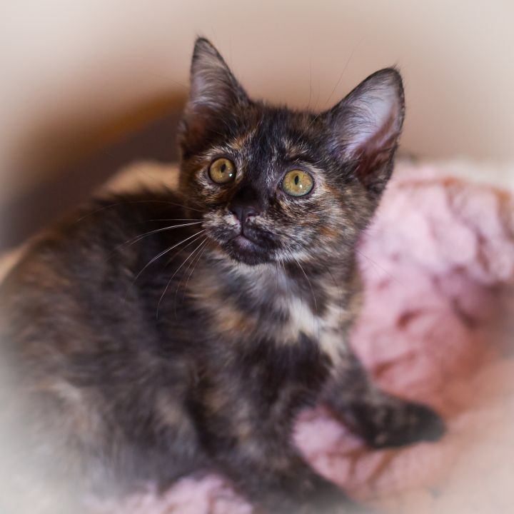 Charley, an adopted Domestic Short Hair Mix in Ponte Vedra, FL