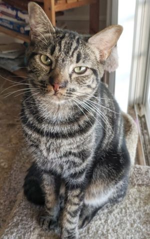 Badger - La Habra/Whittier Petco Tabby Cat
