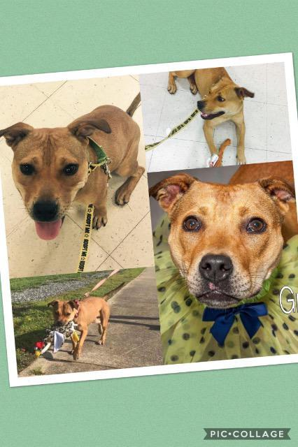 Gracie, an adoptable Terrier Mix in Fort Mill, SC