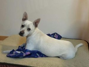 Meet Gizmo Gizmo needs an experienced owner to help him improve his behavior and enjoy being a dog