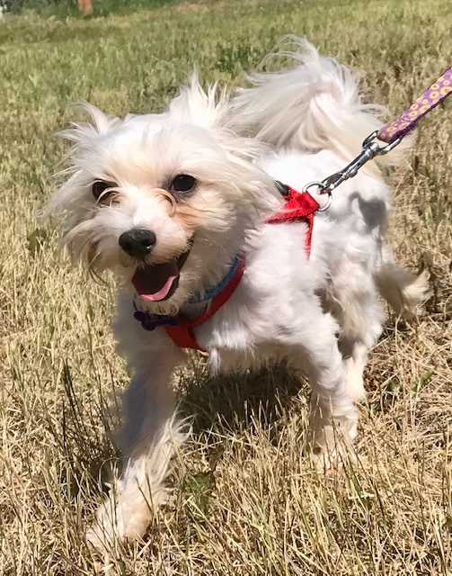 Sterling, an adopted Maltese in Ridgway, CO