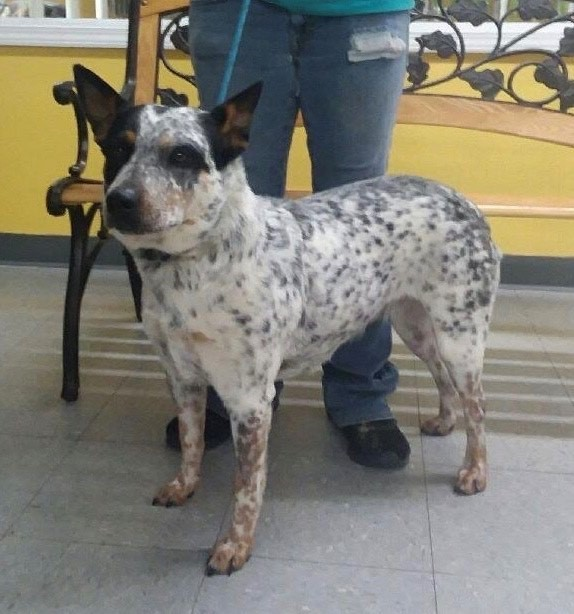 Josey, an adopted Australian Cattle Dog / Blue Heeler Mix in Stafford, VA