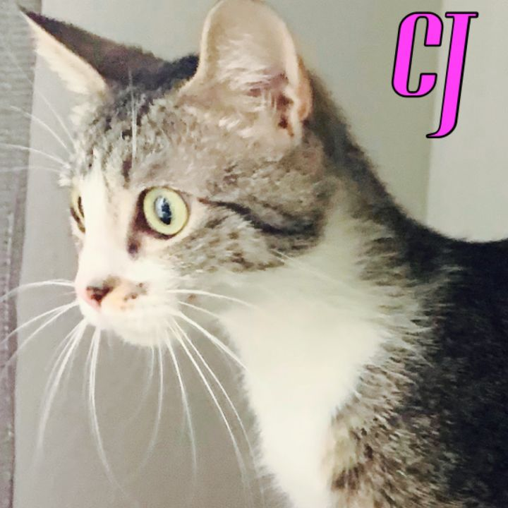 CJ, an adoptable Domestic Short Hair Mix in PORTLAND, OR