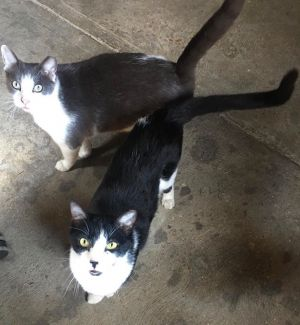 Starsky  Hutch are a bonded pair that are extremely affectionate We guess their age to be 2-3 year