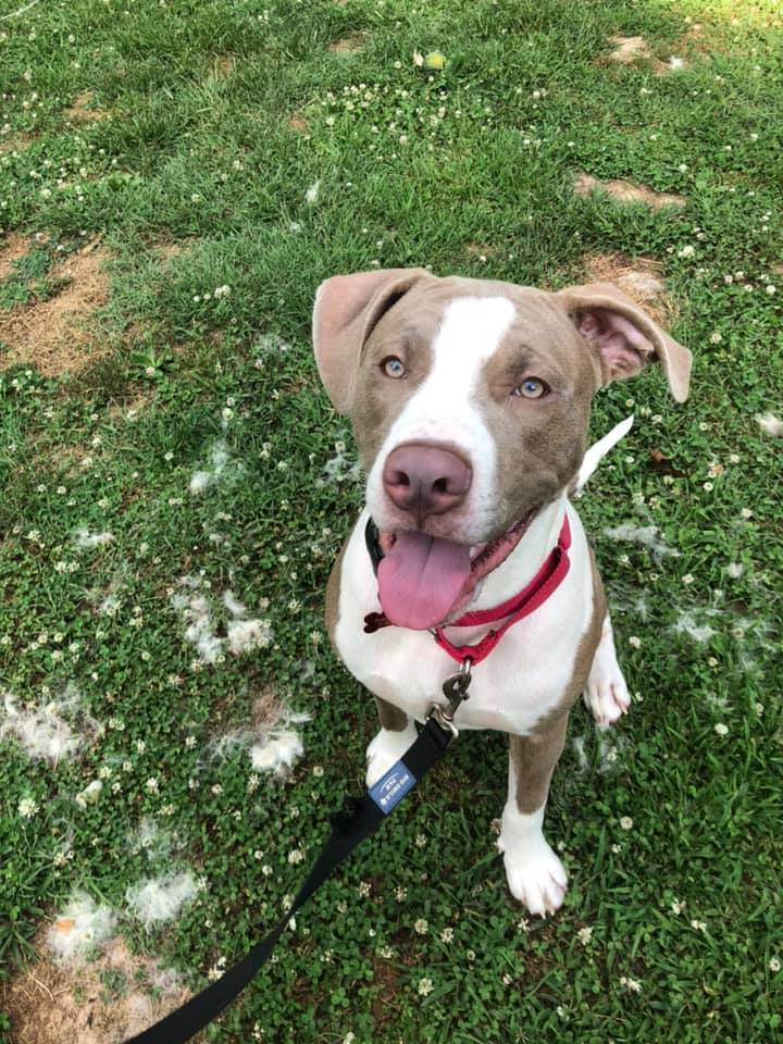 Kalum, an adopted Pit Bull Terrier Mix in Springfield, MO