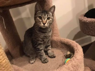 Eugene, an adoptable Domestic Short Hair & Tabby Mix in Kentwood, MI