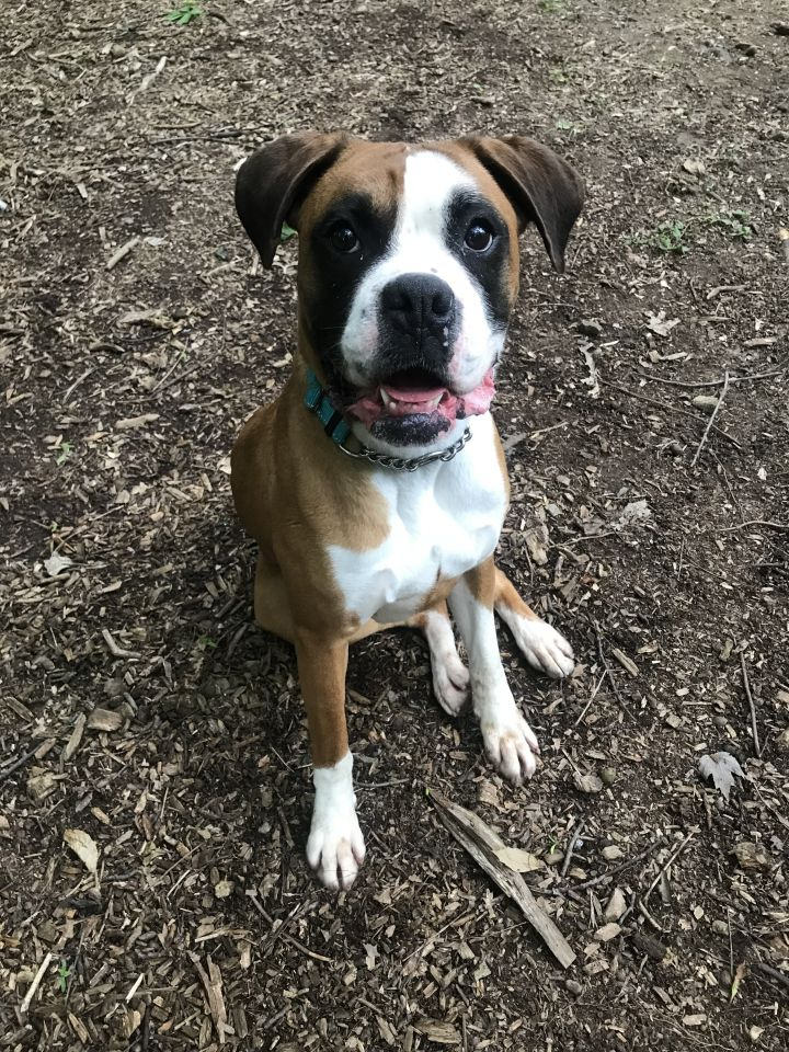 Ruby, an adopted Boxer in Walden, NY