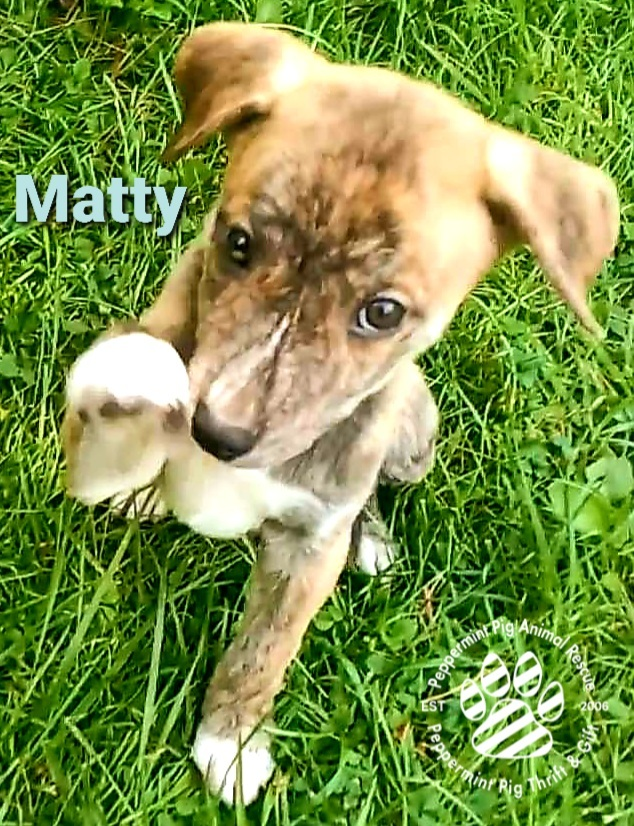 Matty, an adoptable Australian Shepherd & Mountain Cur Mix in Cincinnati, OH