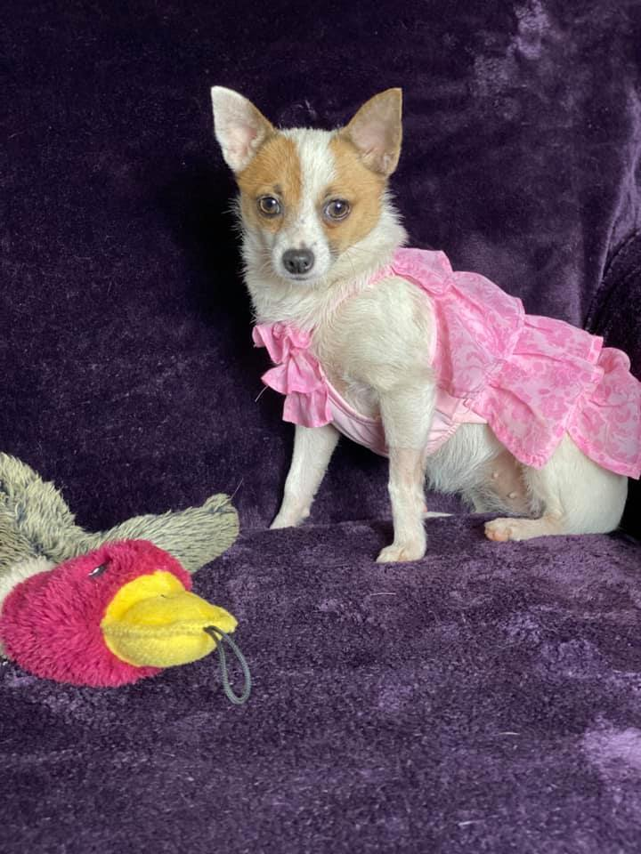Catherine Zeta Bones, an adopted Chihuahua Mix in Brookfield, CT