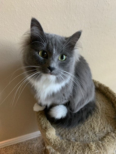 GLORY & GEORGIE, an adoptable Domestic Long Hair & Maine Coon Mix in Tyler, TX
