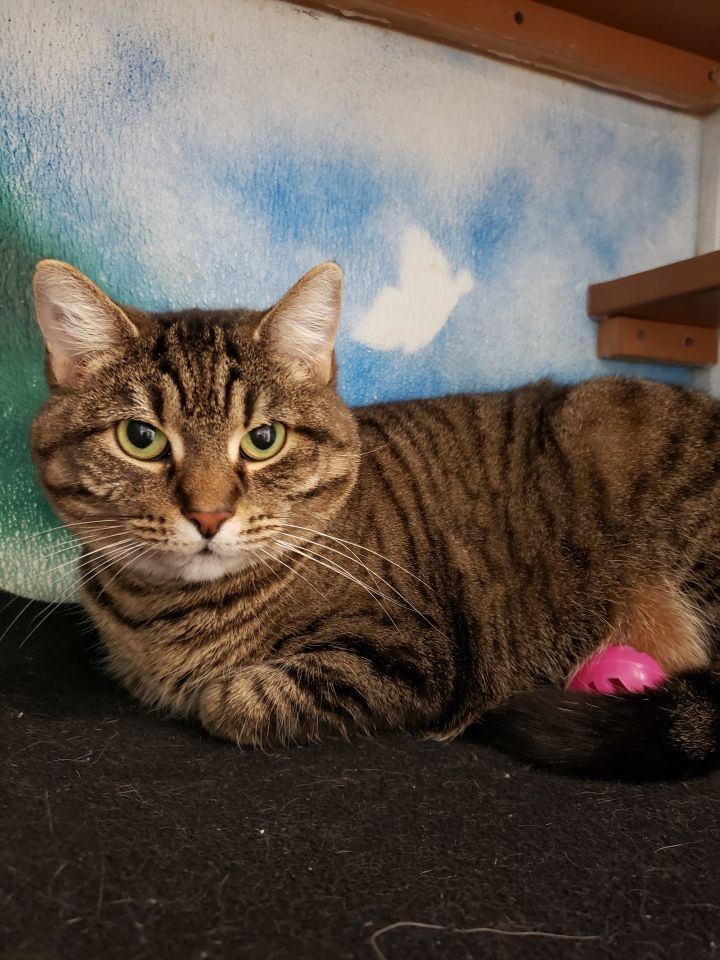 Mama Cass, an adopted Domestic Short Hair Mix in Altoona, PA_image-2