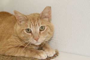 This sweet mellow fellow is a bit shy at first but loves pets and is quick to purr He was