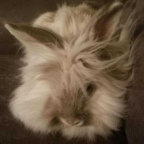 HaagenDas, an adoptable Lionhead in Bowie, MD