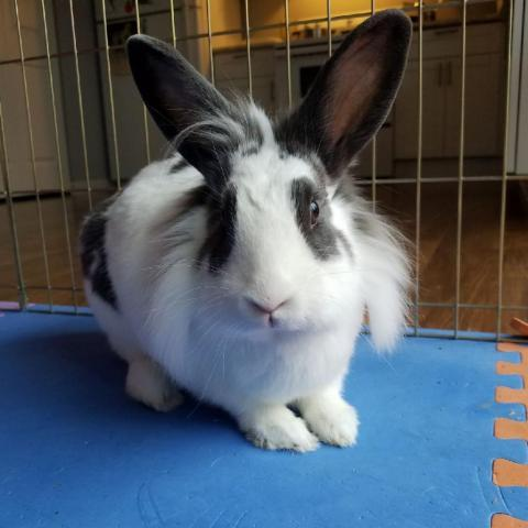 Clover, an adoptable Lionhead & English Spot Mix in Bowie, MD