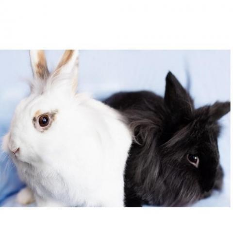 Elsa and Coal, an adoptable Lionhead in Rock Hall, MD