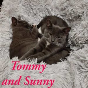 These gorgeous grey babies Pumpkin and Pip are two adorable  handsome healthy  brother kittens lo