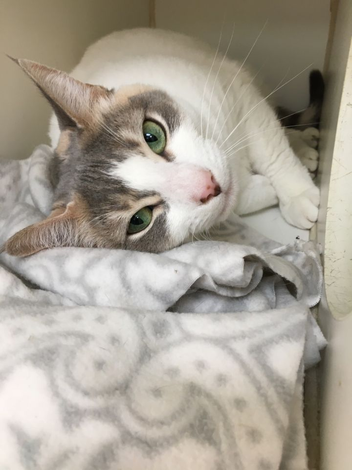 Cassie, an adoptable Domestic Short Hair in Wilkes Barre, PA