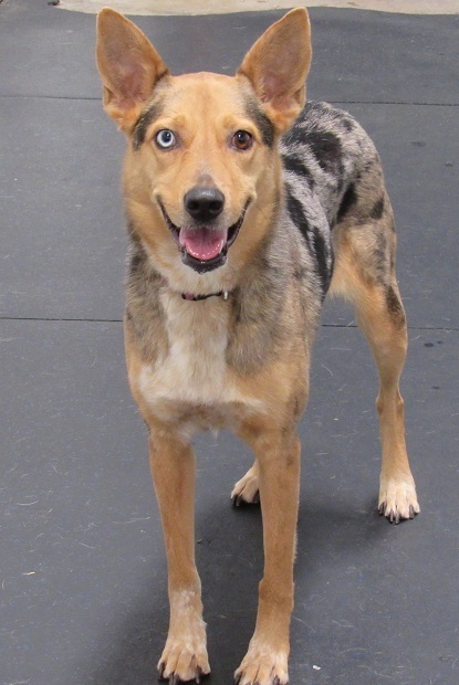Dora, an adopted Cattle Dog & Catahoula Leopard Dog Mix in Oklahoma City, OK