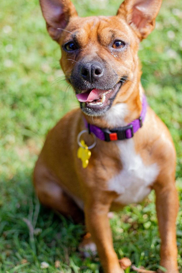 Viola, an adopted Chihuahua Mix in Springfield, MO