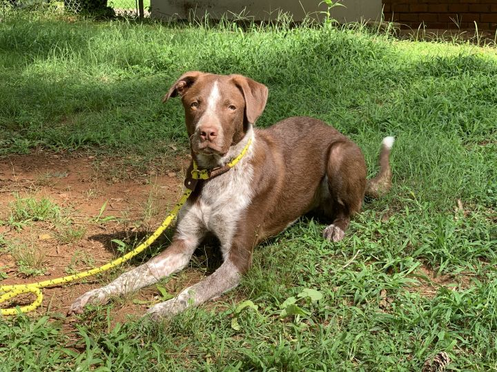 ***GUEST DOG*** Luda, an adoptable Cattle Dog & American Staffordshire Terrier Mix in Marietta, GA