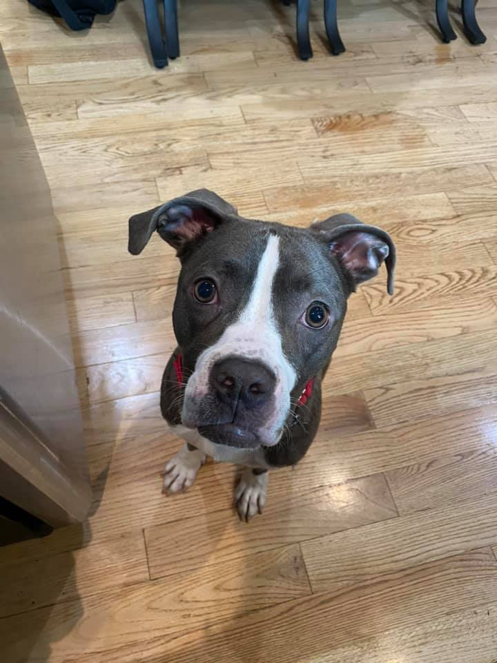 Moira Rose, an adopted Pit Bull Terrier Mix in Roselle, IL