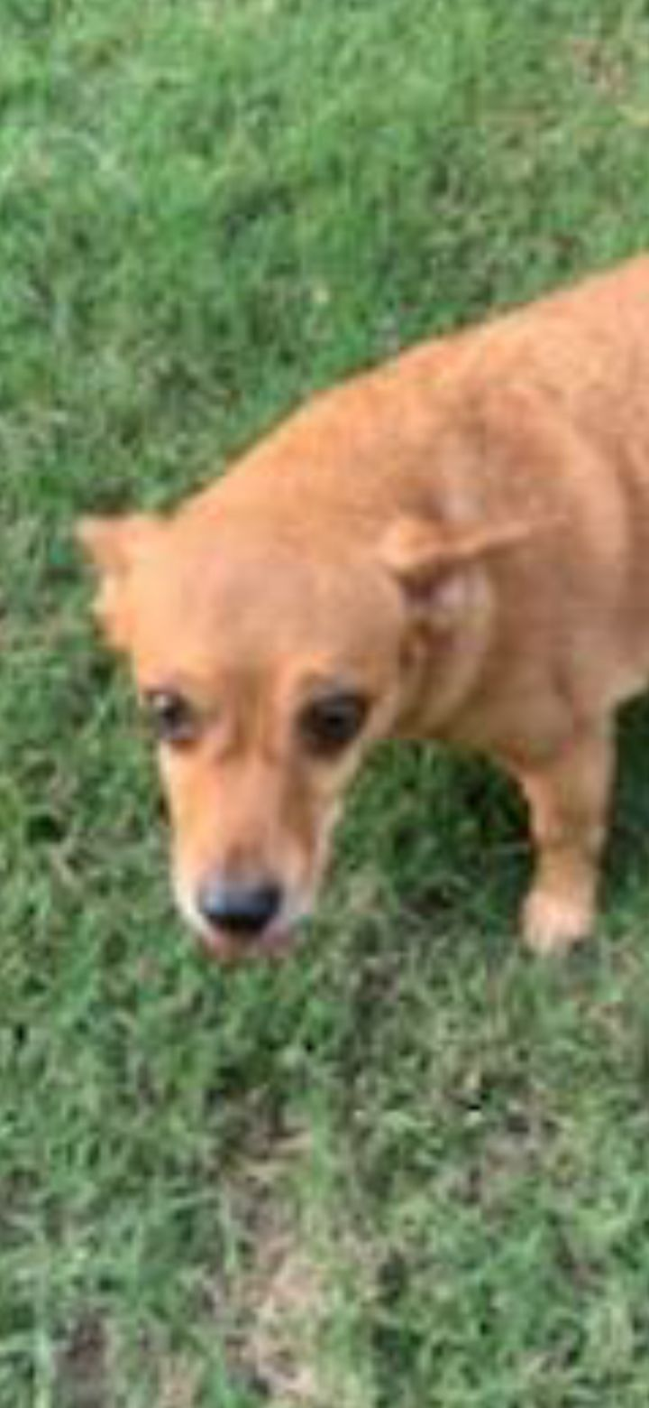 Lovee, an adopted Chihuahua & Dachshund Mix in Mary Esther, FL