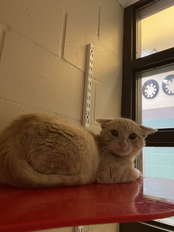 Carter, an adoptable Domestic Short Hair Mix in Appleton, WI