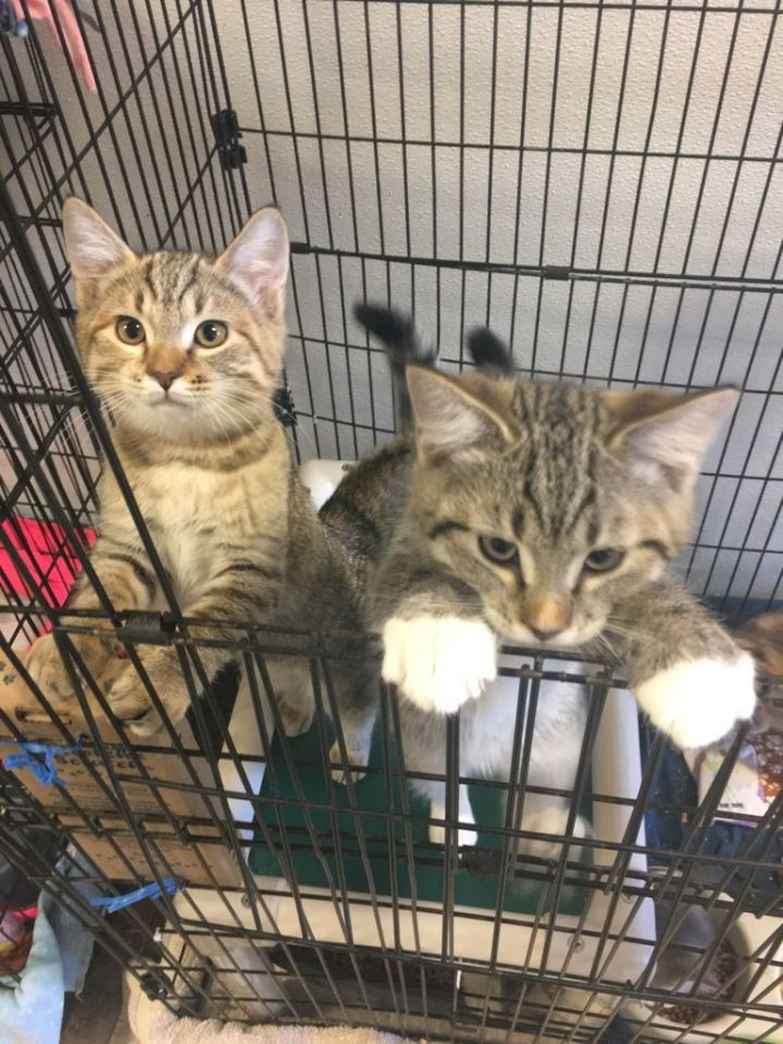 Kittens!, an adoptable Domestic Short Hair Mix in Moscow, ID