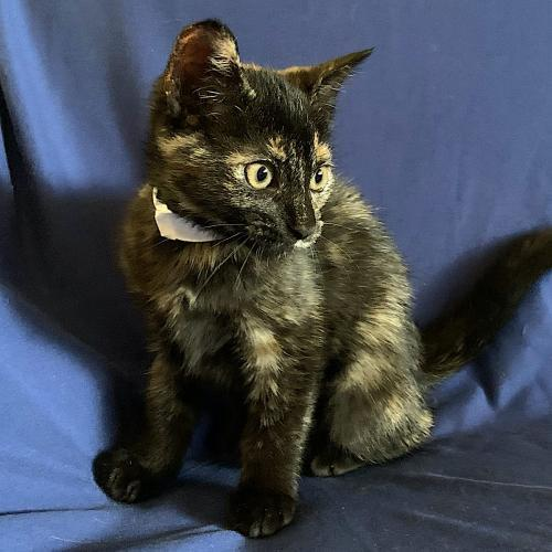 Juno, an adoptable Domestic Short Hair & Tortoiseshell Mix in Springfield, OR