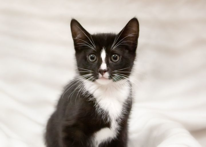 Hatteras, an adoptable Domestic Short Hair Mix in Waxhaw, NC
