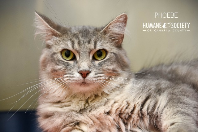 Phoebe, an adoptable Domestic Long Hair in Johnstown, PA
