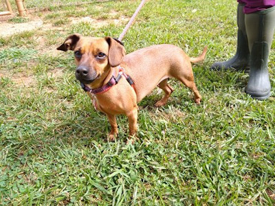 Jessie, an adopted Dachshund Mix in Athens, GA