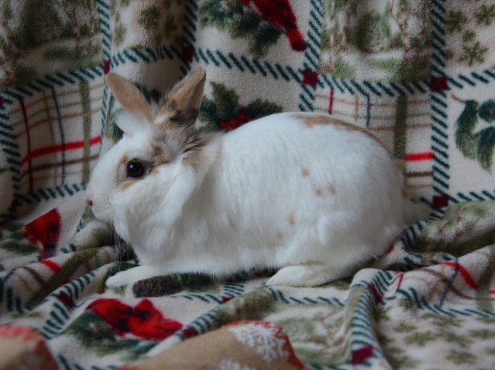 Panini, an adoptable Lionhead in Saint Paul, MN