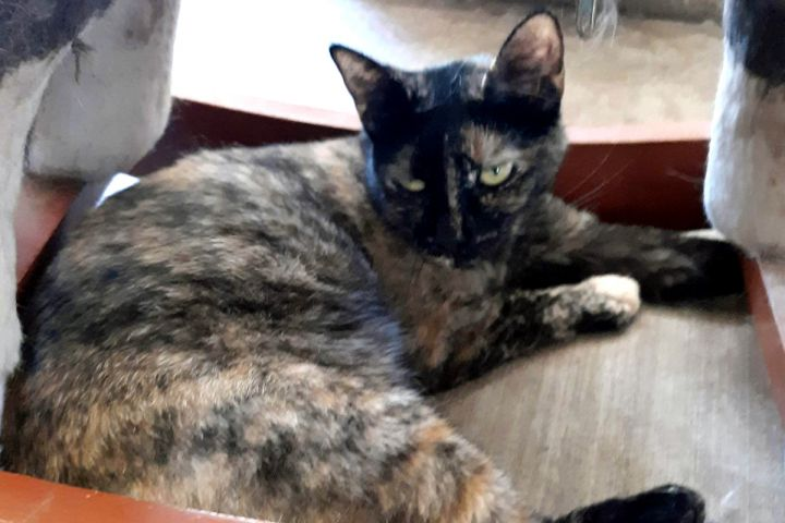 Sally, an adoptable Tortoiseshell & Domestic Short Hair Mix in Palo Cedro, CA