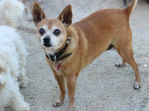 Sweetie was rescued from San Bernadino Shelter Although she is blind this girl gets around great