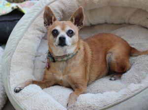 Sweetie Chihuahua Dog