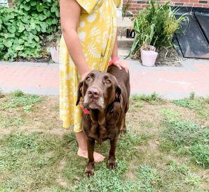 Ingrid Chocolate Labrador Retriever Dog