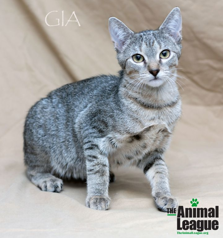 Gia, an adopted Domestic Short Hair Mix in Clermont, FL