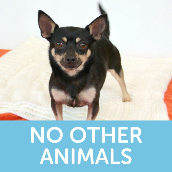 Rufus, an adoptable Chihuahua Mix in Clovis, CA