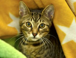 Christoph is an adorable and affectionate 3 month old kitten He gets along well with kids and other