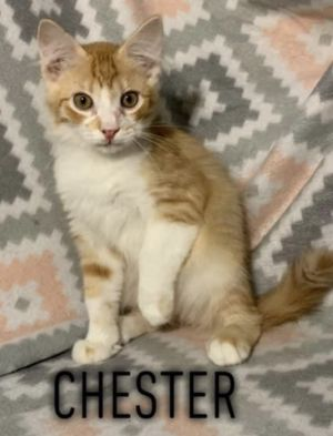 Chester is an adorable and affectionate 4 month old kitten He gets along well with kids and other c