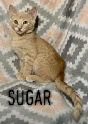 Sugar - 1960 Petsmart Tabby Cat
