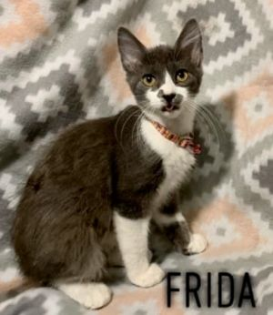 Frida is an adorable and affectionate 4 month old kitten She gets along well with kids and other ca