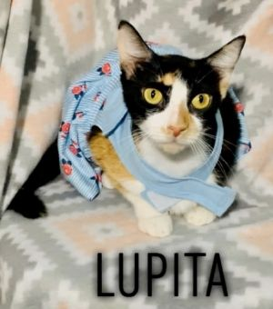 Lupita is an adorable and affectionate 2 year old She gets along well with kids and other cats She