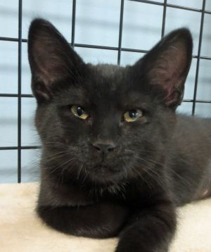 Hi my name is Ella and I am a gorgeous black kitten I was born on 4420 I am very