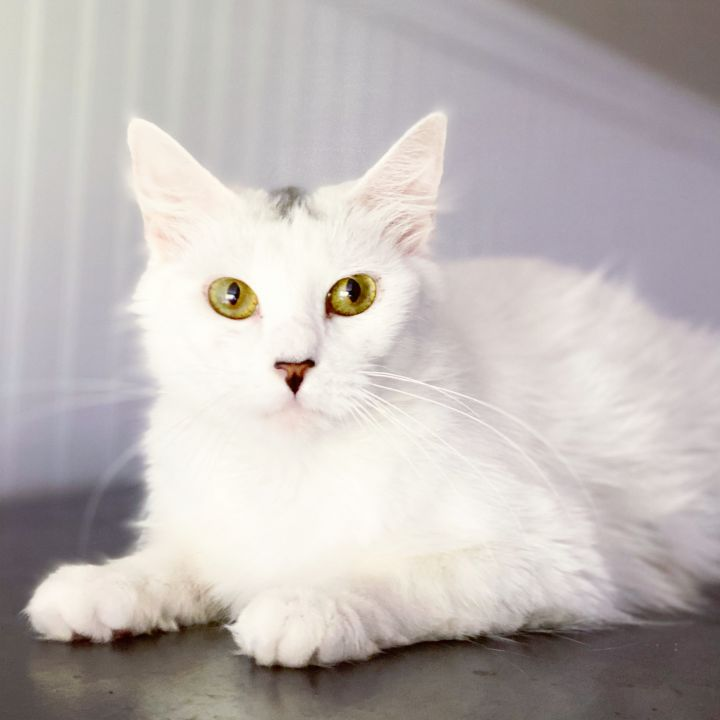 Snowy, an adoptable Turkish Van in Tyler, TX