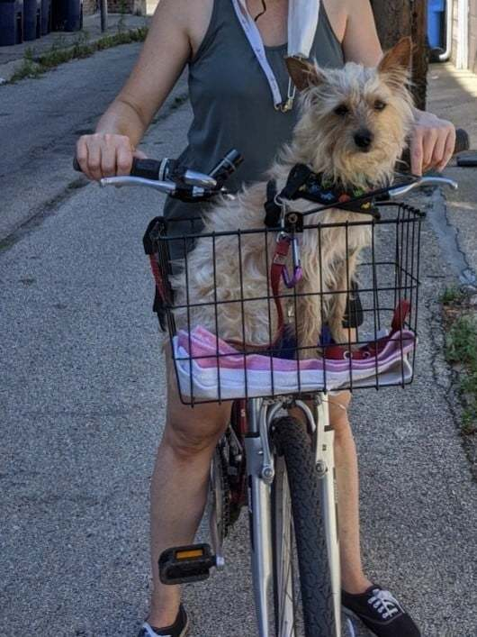 Matchbox - Application Pending, an adoptable Yorkshire Terrier Mix in Chicago, IL