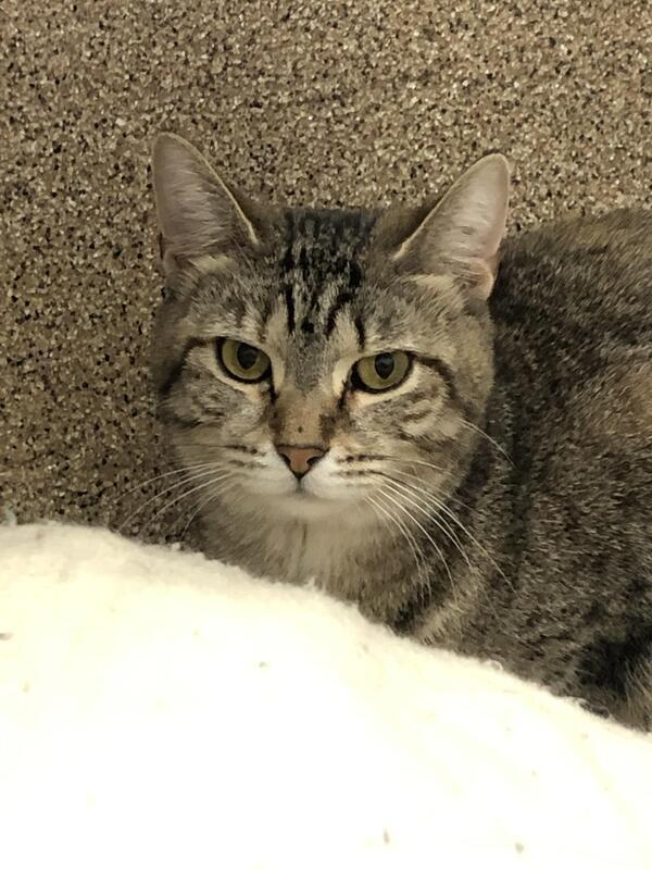 Charmen, an adoptable Domestic Short Hair Mix in Columbus, OH