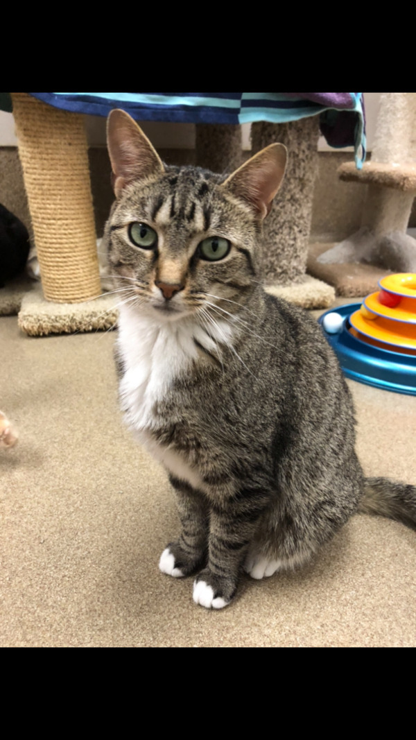 Maxine, an adoptable Domestic Short Hair Mix in Columbus, OH